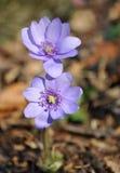 Flor violeta del bosque, transsilvanica de Hepatica Imagen de archivo