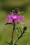 Flor violeta del cardo (Cirsium) Foto de archivo libre de regalías