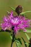 Flor violeta del cardo (Cirsium) Imagenes de archivo