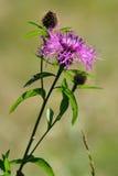 Flor violeta del cardo (Cirsium) Foto de archivo