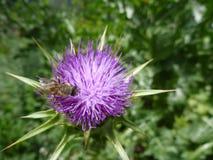 Flor violeta del cardo en flor Fotos de archivo libres de regalías