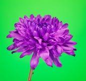 Flor violeta del crisantemo Imagen de archivo
