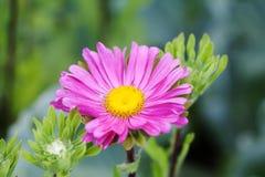 Flor violeta del crisantemo, fondo suave Aún vida floral con la momia rosada, el verde se va Hojas verdes y amarillas en un tronc Foto de archivo libre de regalías