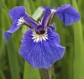 Flor violeta del iris Imagen de archivo libre de regalías