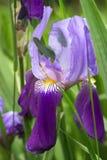 Flor violeta del iris Imagen de archivo