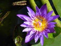 Flor violeta del lirio de agua con el centro amarillo y una abeja Foto de archivo