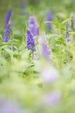 Flor violeta del lupine fotos de archivo