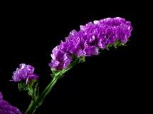 Flor violeta del statice Fotos de archivo libres de regalías