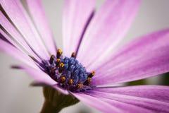 A flor violeta, detalhe ascendente próximo do macro, exterior gaeden fotografia de stock