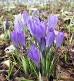 Flor violeta do açafrão foto de stock royalty free