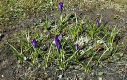 Flor violeta do açafrão Fotos de Stock Royalty Free