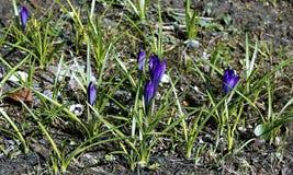 Flor violeta do açafrão Foto de Stock