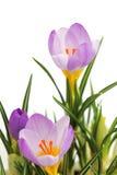 Flor violeta do açafrão da mola Imagens de Stock