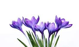 Flor violeta do açafrão isolada Foto de Stock