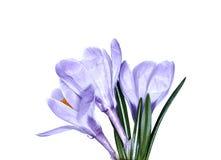 Flor violeta do açafrão isolada Fotos de Stock Royalty Free