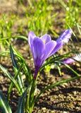 Flor violeta do açafrão no jardim Imagem de Stock Royalty Free