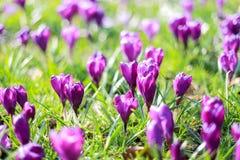 Flor violeta do açafrão no verde Imagens de Stock