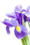 Flor violeta do blueflag da íris amarela Foto de Stock Royalty Free
