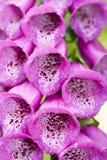 Flor violeta do campanula Fotos de Stock Royalty Free