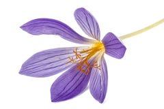 Flor violeta do close-up do Colchicum, isolada no fundo branco Fotos de Stock Royalty Free