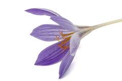 Flor violeta do close-up do Colchicum, isolada no fundo branco Fotos de Stock