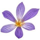Flor violeta do close-up do Colchicum, isolada no fundo branco Fotografia de Stock
