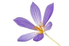 Flor violeta do close-up do Colchicum, isolada no fundo branco Imagem de Stock Royalty Free
