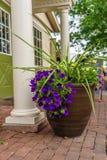 Flor violeta do país de Amish no potenciômetro em Lancaster, PA imagem de stock
