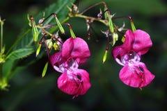 Flor violeta do rododendro imagens de stock