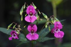 Flor violeta do rododendro fotografia de stock royalty free