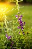 Flor violeta en la salida del sol en el parque Foto de archivo libre de regalías
