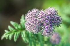 Flor violeta en un prado Foto de archivo