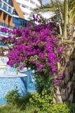 Flor violeta hermosa del trópico de la buganvilla Fotos de archivo libres de regalías