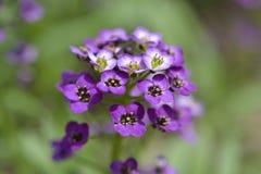 Flor violeta macro Fotografia de Stock Royalty Free