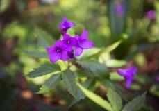 Flor violeta púrpura del bosque de la primavera temprana Fotografía de archivo