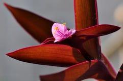 Flor violeta rosada fotografía de archivo libre de regalías