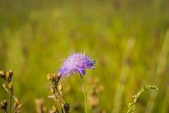 Flor violeta salvaje Imagen de archivo libre de regalías