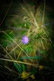 Flor violeta selvagem na floresta do verão Imagens de Stock Royalty Free