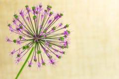 Flor violeta sob a forma de uma bola em um fundo bege delicado fotografia de stock royalty free