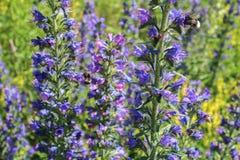 Flor violeta y amarilla con el bublebee, cierre encima de la foto Fotos de archivo libres de regalías