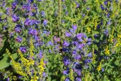 Flor violeta y amarilla con el bublebee, foto macra Fotos de archivo libres de regalías