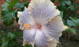 Flor visível de Senegal Imagem de Stock Royalty Free