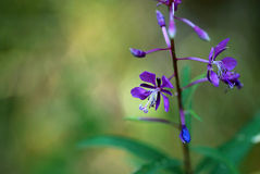 Flor Willow Herb foto de archivo