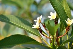 Flor y árbol de Yellowl en la puesta del sol Fotografía de archivo