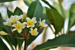 Flor y árbol de Yellowl en la puesta del sol Foto de archivo libre de regalías