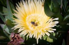 flor y abeja Imagen de archivo libre de regalías