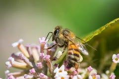 flor y abeja Foto de archivo