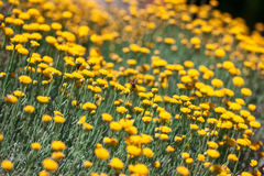 Flor y abeja amarilla, concentración selectiva y profundidad baja de f Imagenes de archivo