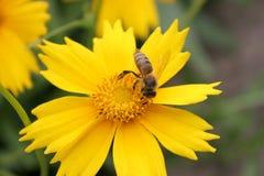 Flor y abeja amarillas Fotografía de archivo