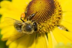 Flor y abeja amarillas hermosas. Foto de archivo libre de regalías